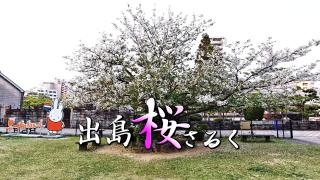 出島の桜の独り占め!